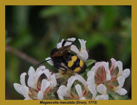 Meg.maculata
