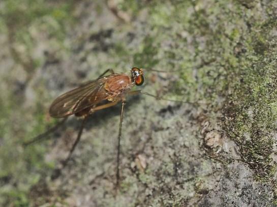 N.pallida
