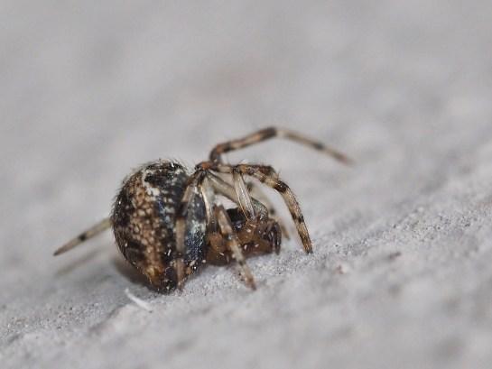 P.tabulata