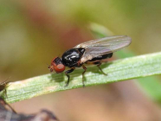 Parapiophila