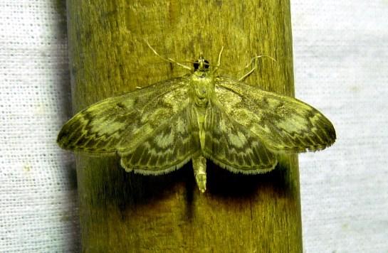 An.lancealis