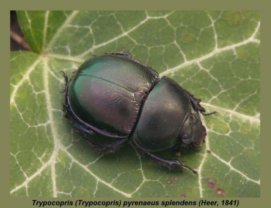 Tr.pyraneus