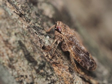 A.modestus
