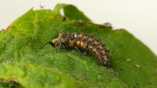 Anatis oc. larva