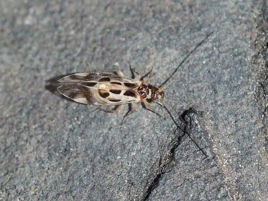G.cruciatus