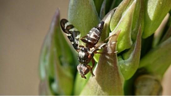 P.poeciloptera female