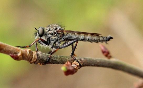 T.atricapillus