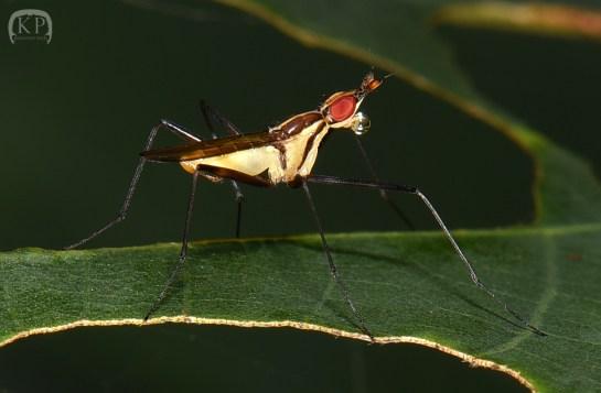 T.lineolatus