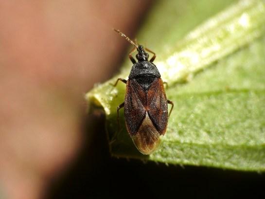 A.pygmaeus