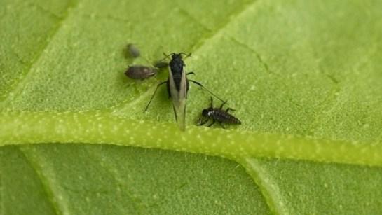 Ad.bipunctata larva