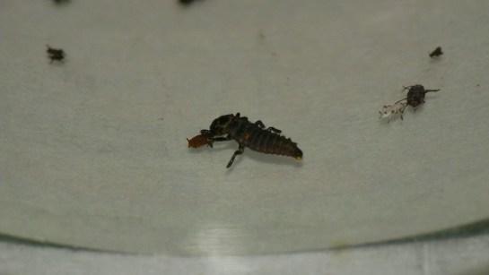 Adalia larva.