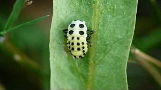 Calvia larva.