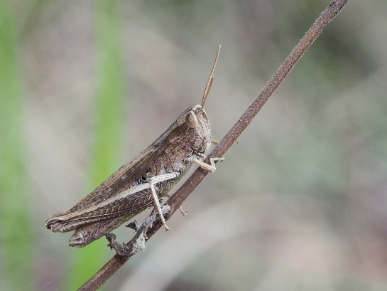 Ch.dorsatus