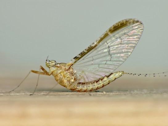 Cl.dipterum