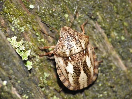 E.maura