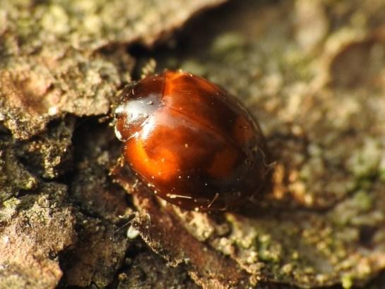 E.quadripustulatus