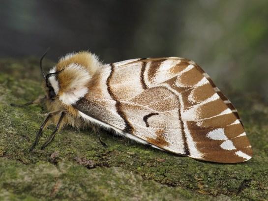E.versicolora