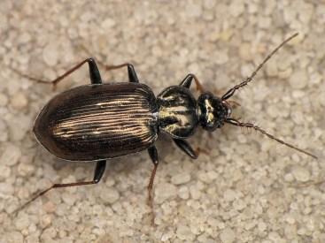 L.pilicornis