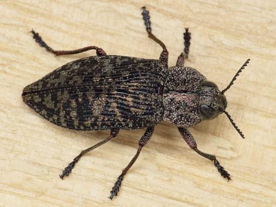 P.variolosa