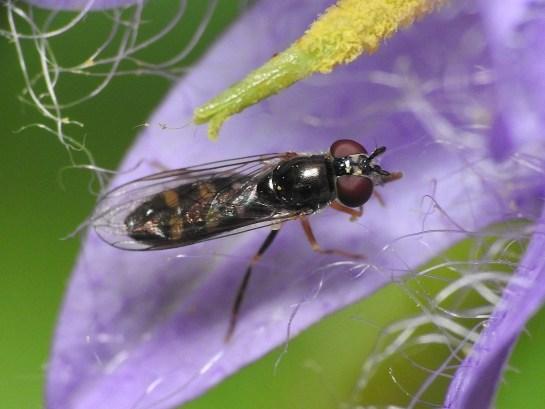 Pl.scutatus