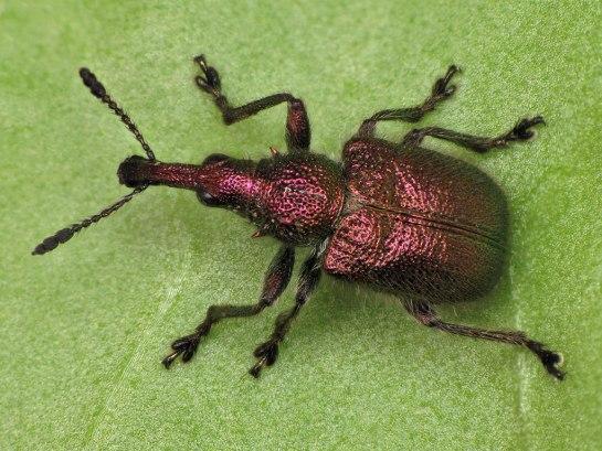 R.auratus