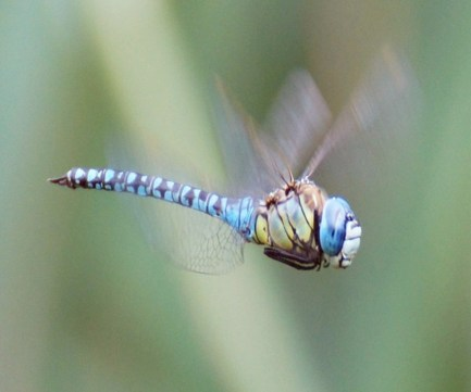 A.affinis