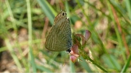 L.boeticus