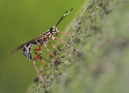 X.praecatorius