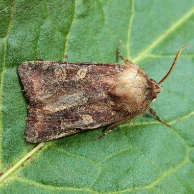 C.leucographa