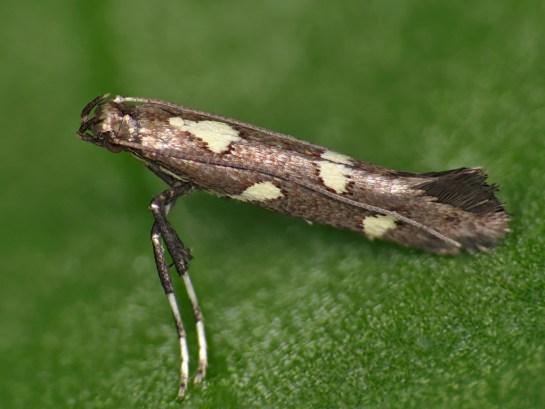 ca-phasianipennella