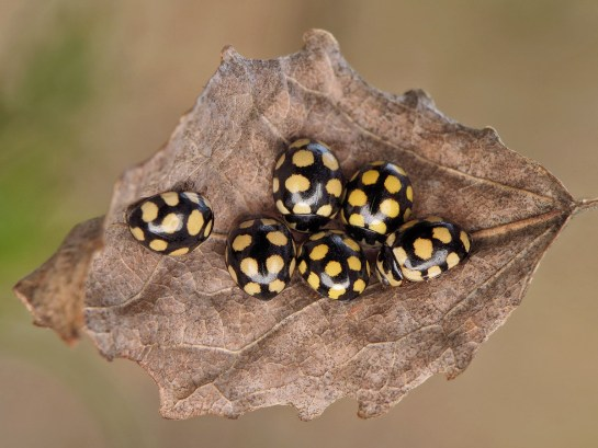 co-quatuordecimpustulata
