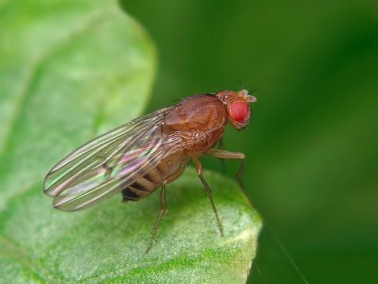 Dros. melanogaster