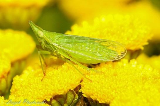 D.europaea