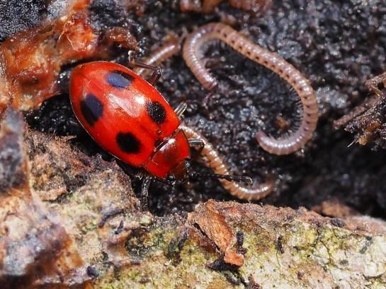 E.coccineus