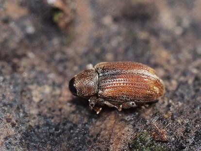 E.scanicus