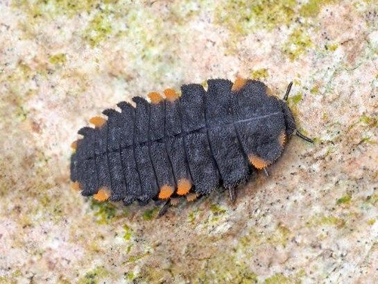 Endomychus larva