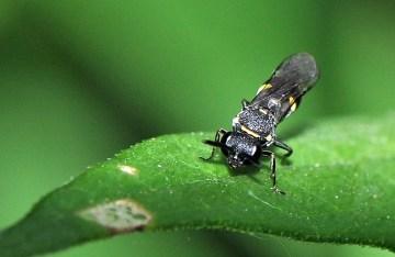 N trimaculatus