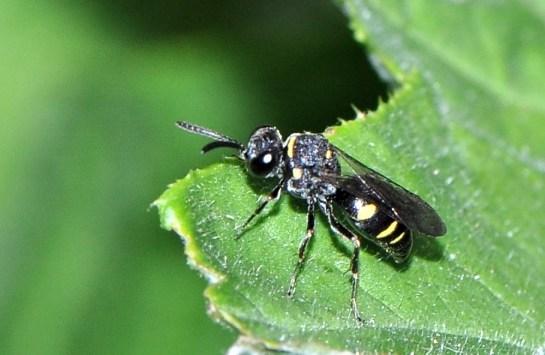 N.trimaculatus