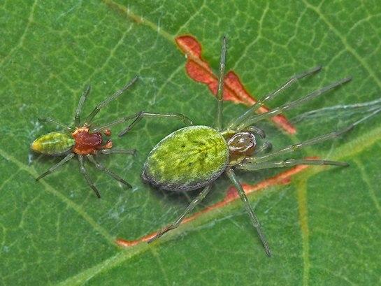 N.walckeanaeri