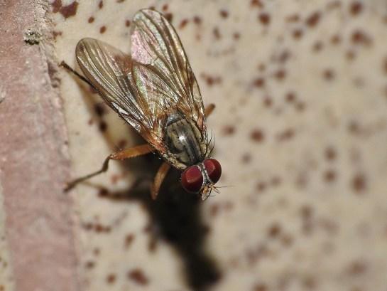 P.pardalina
