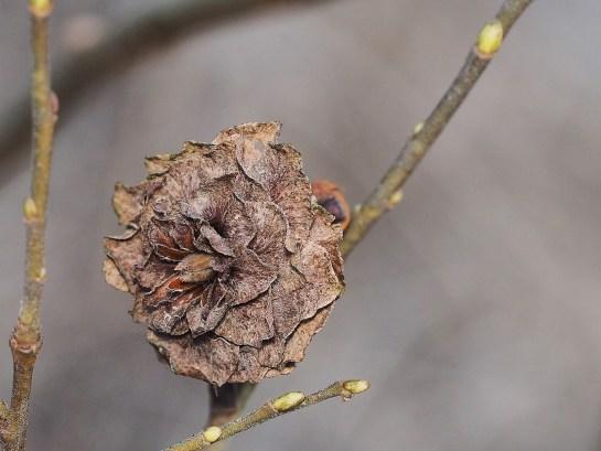 R.rosaria