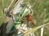 Cheiracanthium punctorium