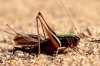 Metrioptera brachyptera