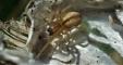 Cheiracanthium erraticum