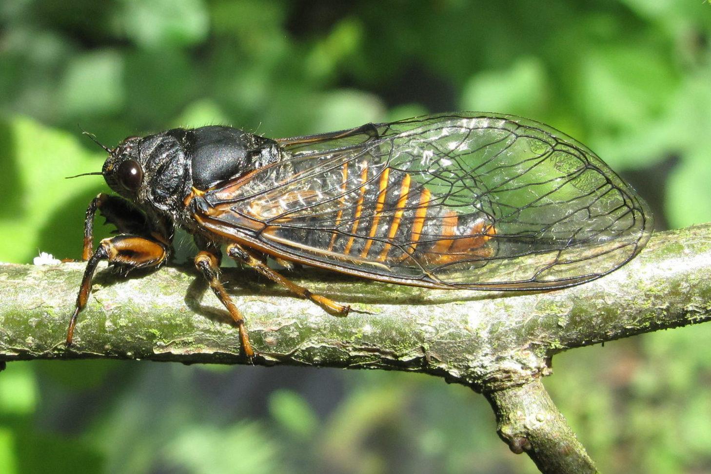 Cicadetta monatana, Lüen GR, Switzerland, CC-BY-SA-4.0, Thomas Hertach, Hedingen, Switzerland