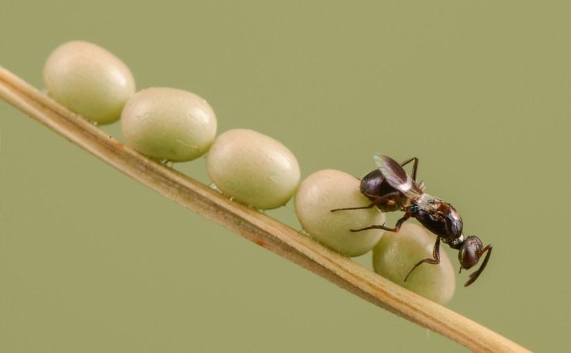 Über den Einsatz von Schlupfwespen in der biologischen Schädlingsbekämpfung