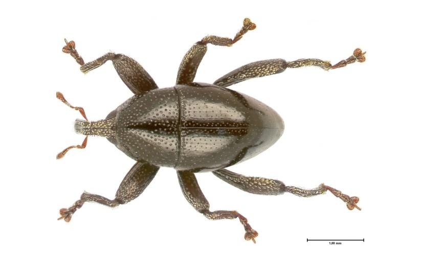 103 neue Rüsselkäfer aus Sulawesi