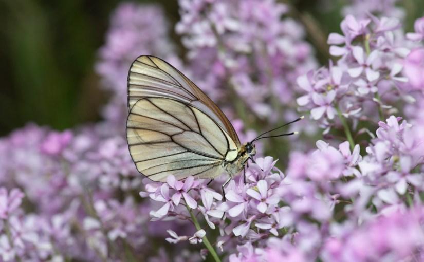Schmetterlinge und andere Tiere im Iran