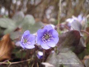 """Leberblümchen, """"den blå anemone"""""""