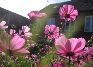 Hygge auf Nyord Cosmea im Garten